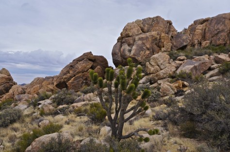 Big boulders and a lone joshua tree